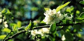 Photo of fruit trees in bloom in the garden