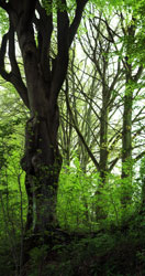 Photo of old beech tree in forest