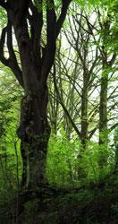 Foto oude beuk in een bos