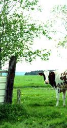 Photo d'une vache dans un grand pré